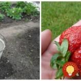 Vysaďte po lete jahody: Trik skúsených záhradkárov, vďaka ktorému môžete čakať bohatú úrodu extra veľkých plodov!