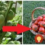 Rada pre všetkých, ktorí majú rajčiny obsypané zelenými plodmi a boja sa, že nedozrejú: Urobte rastline TOTO a dozrejú do poslednej!