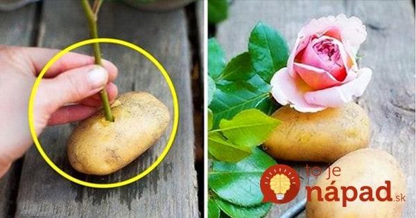 Nikto mi neveril, že sa to podarí, no ide o najlepší zlepšovák pre pestovateľov ruží: Takto som minulú jeseň namnožila tucet nových ruží len pomocou zemiaku!