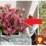Takto sa mi podarilo prinútiť azalku kvitnúť aj v zime: Stačila len rada od milej pani z kvetinárstva!