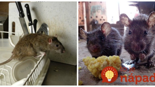Na zimu sa nám potkany nasťahovali do garáže a nepomohli žiadne pasce z obchodu: Toto mi poradil dedko a odvtedy sme nevideli ani jediného!