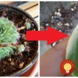 Nenápadný zázrak zo skalky, na ktorý sa nechytá ani Aloe Vera: Jediný list z tejto rastliny vylieči zápal ucha, nádchu aj kurie oko!