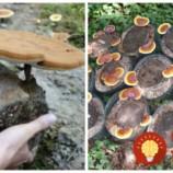 Zázračná huba z kôry stromov: Proti bolesti, na nespavosť aj proti rakovine – kto ju raz skúsil, už ju nedá z ruky!