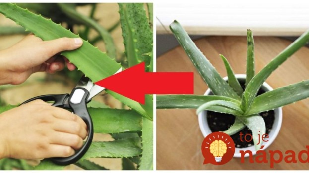 Toto by mal vedieť každý, kto ju pestuje: Tušíte, čo dokáže 1 list Aloe Vera, keď ho dáte len na 12 hodín do mrazničky?