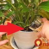 Finta ostrieľaných záhradkárov, ako zachrániť chradnúce izbovky, keď už nič nepomáha: Dajte im toto ku koreňom a ožijú vám doslova pred očami!