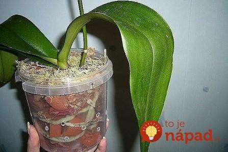 Toto je jediný správny spôsob, ako prebudiť k životu aj staršiu orchideu: A už nemusíte zháňať drahé hnojivá a výživu z obchodu!