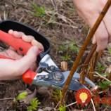 Jednoduchý návod ako ostrihať ovocné stromy: Keď to urobíte, porastú ako divé