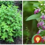 Stačí ju len odtrhnúť, zaliať a už zajtra môžete použiť: Táto rastlinka je zázrak na opary a vyrážky, má ohromnú silu!