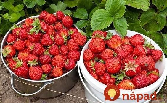 Jahody kŕmime každý rok len týmto a máme ich ako z obrázku: Ani euro za drahú chémiu z obchodu – toto je pre jahody úplný zázrak!