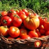 Antipostrek na paradajky, podľa našich babičiek: Počas celej sezóny netreba žiadne postreky, ani chémiu!