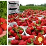 Veľká jahodová mapa pre celé Slovensko: Na týchto miestach si môžete sami nazbierať najlepšie čerstvé jahody!