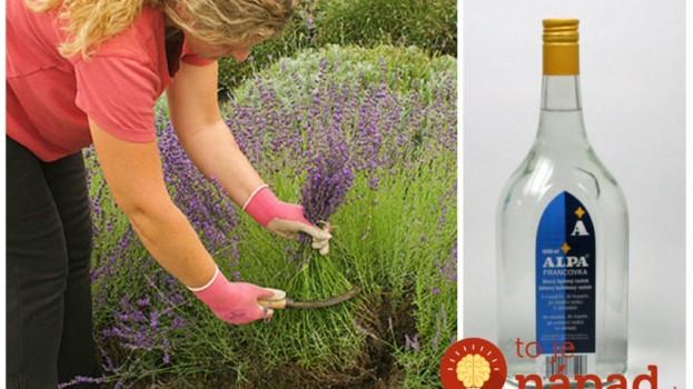Keď sa strihala levanduľa, moja teta vždy zaliala pár kvetov obyčajnou Alpou: Toto bude najlepší pomocník do každej rodiny!
