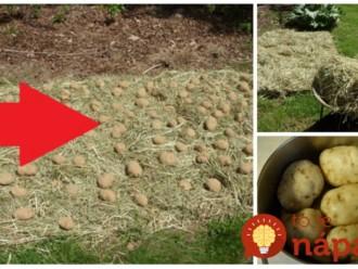 Úrodu zberám 2x do roka a zemiaky sú vždy krásne: Stihnite to v auguste a na jeseň máte krásnu úrodu bez roboty!