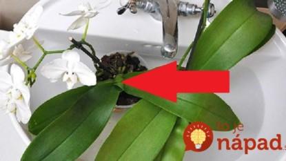 Kúzelná voda na orchideu: Toto musí prebudiť aj tú najbiednejšiu rastlinku a máte to zadarmo – už ani euro za hnojivá z obchodu!