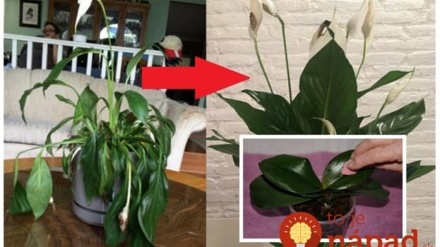 Môj lopatkovec aj orchidea boli na vyhodenie: Namiesto vody som im dala toto a ožili nám pred očami – teraz kvitnú ako na baterky!