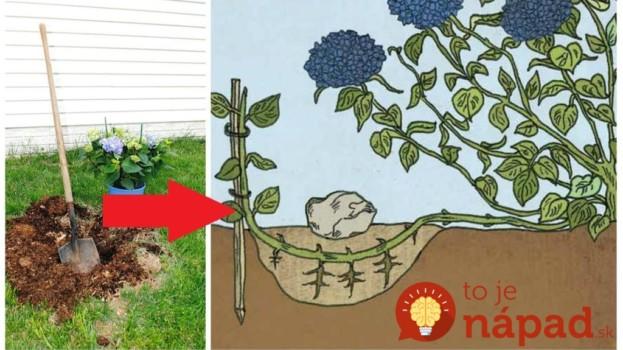 1 vetvička zaplní celú záhradu: Začínala som s jedným malým kríkom a teraz môžem prekrásne hortenzie aj predávať – kvitnú ako divé!