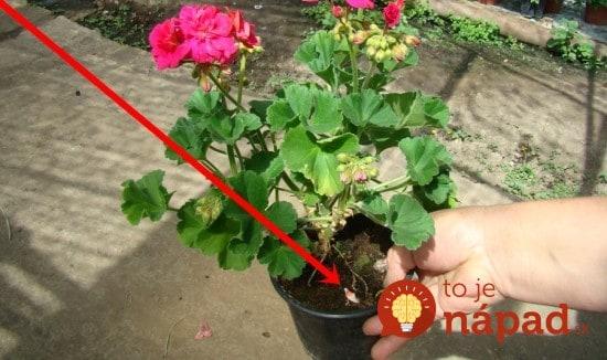 Toto vám v záhradkárstve nepovedia: 19 najlepších trikov pre balkónové aj izbové kvety – poklad pre každého pestovateľa!