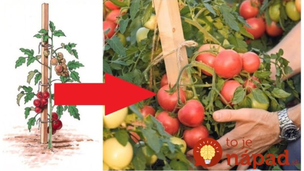 Gazdovia prezradili tajomstvo najsilnejších rajčín, ktoré rodia až do novembra: Toto povedzte každému, kto pestuje!