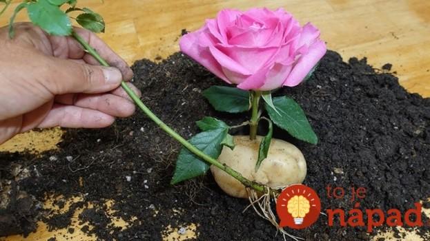 Starý záhradkársky trik, ako zakoreniť ruže: Odkedy to poznám, rezané ruže u nás končia v záhrade a kvitnú roky!