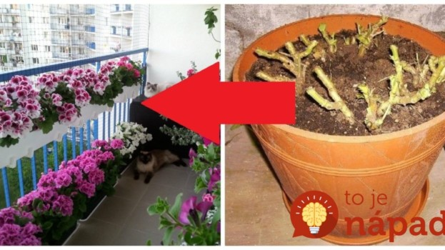 Záhradkár poradil najjednoduchšiu metódu, ako zazimovať muškáty: Držte sa toho a už nebudete kupovať priesady – nádherné celé roky!