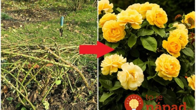 Ak toto urobíte s vašimi ružami na jeseň, na jar sa vám odvďačia a zakvitnú znovu v plnej paráde!