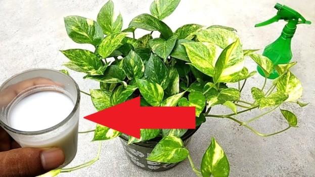 Lacný zázrak pre izbovky – len párkrát zaliať, nastriekať na listy a budú ako z výstavy: Toto je spása aj pre unavené rastliny, ktorým sa nedarí!