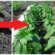 Myslite na to, keď budete sadiť a v lete nebudete vedieť čo s úrodou! Tajomstvo bohatej úrody papriky v tomto roku!