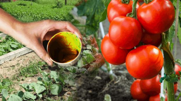 Paradajky rodia bez prestávky ako divé: Dajte im túto domácu výživu a budete mať rekordnú úrodu!