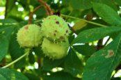 chestnut-4492489_1920-174x116.jpg