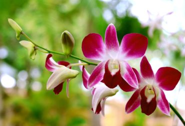 orchid-black-checkered-2576067_1280-370x251.jpg