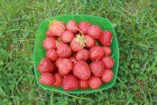 strawberry-2654270_1280-174x116.jpg